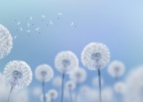 white dandelions on blue background, wide view